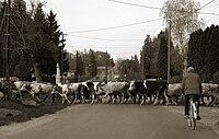 Marhák a faluban pölöskén.jpg