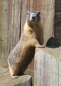 A Yellow-Bellied Marmot near Princeton, British Columbia