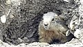 Marmots galore near Lech 2017 6 (39492302045).jpg