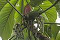 Maroon-bellied Parakeet - Intervales NP - Brazil S4E2641 (12931326074).jpg