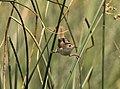 Marsh Wren, St. Clair Flats, 21 July 2014 (14711648214).jpg