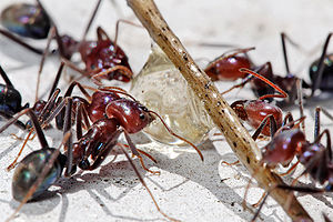 Meat eater ants feeding on honey02.jpg