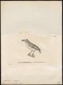 Megalaima chrysocoma - 1700-1880 - Print - Iconographia Zoologica - Special Collections University of Amsterdam - UBA01 IZ18800076.tif