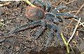 Megaphobema velvetosoma - Flickr - Dick Culbert.jpg