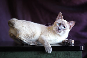 Colorpoint Shorthair - Mekong bobtail (Thai bobtail). Blue-cream-torty-point.
