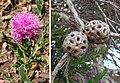Melaleuca nesophila (27655147582).jpg