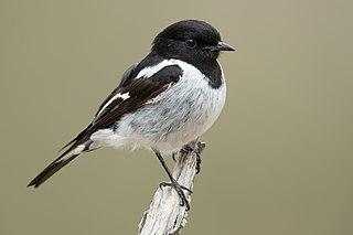 Hooded robin Species of songbird native to Australia