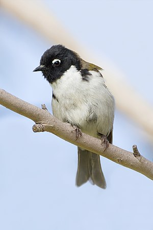 Black-headed honeyeater - Image: Melithreptus affinis Bruny