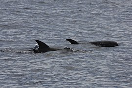 Melon-headed Whale (Peponocephala electra) (6206904718).jpg