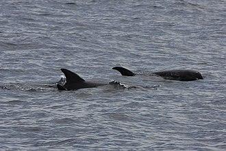 Melon-headed whale - A pod in Bohol Sea between Balicasag Island and Alona Beach