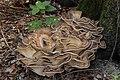 Meripilus giganteus (44397751584).jpg