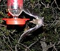 Mexican Long-tongued Bat - Flickr - gailhampshire.jpg