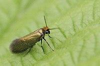 Micropterix.calthella.jpg