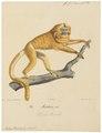 Midas rosalia - 1818-1842 - Print - Iconographia Zoologica - Special Collections University of Amsterdam - UBA01 IZ20200057.tif
