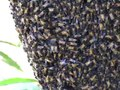 File:Migrating-Giant-Honey-Bees-(Apis-dorsata)-Congregate-Annually-at-Stopover-Site-in-Thailand-pone.0044976.s002.ogv