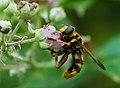 Milésie faux-frelon (Milesia crabroniformis), Le Collet-de-Dèze, Lozère, France (36331842391).jpg