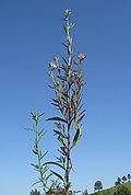 Misopates orontium plant1 NC - Flickr - Macleay Grass Man.jpg