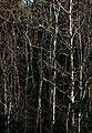 Mixed bare saplings 2.jpg