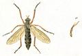 Molobratia teutonus (Linnaeus 1767) labelled as Asilus teutonus Linn. (Panzer & Sturm 1793) whitened.png