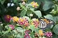 Monarch Butterfly - Danaus plexippus (5882864342).jpg