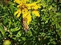 Monarch butterfly (20569388074).jpg