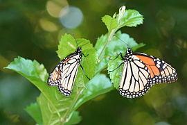 Monarchs roosting.jpg