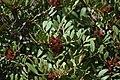 Montblanc - Pistacia lentiscus.jpg