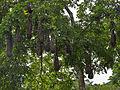 Montezuma oropendola-IMG 0843.JPG