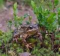 Moor frog in Sarek National Park (DSCF2796).jpg