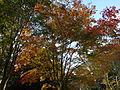 Morris Arboretum Acer pseudosieboldianum-1.jpg