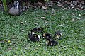 Mother Duck watching over Baby Duck's fast asleep (11284636643).jpg