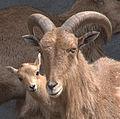 Mouflon à manchettes et son petit.jpg