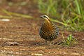 Mountain Bamboo-Partridge - North Thailand.jpg