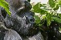 Mountain gorilla (Gorilla beringei beringei) 22.jpg