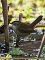 Moustached Warbler (Acrocephalus melanopogon) (33311278663).jpg