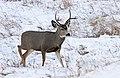 Mule deer buck (15877888045).jpg