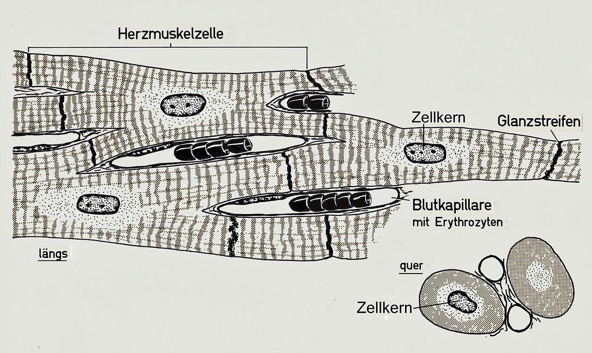 Herzmuskel – Wikipedia