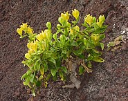 Musschia aurea (Madeira, Portugal)