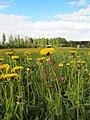 Muurame - dandelions.jpg