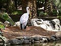 Mycteria ibis - yellow-billed stork - Nimmersatt - Tantale ibis - 01.jpg