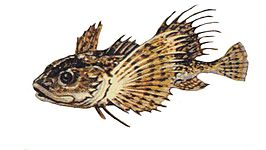 Myoxocephalus thompsonii.jpg