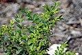 Myrciaria cauliflora 25zz.jpg