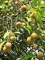 Myristica fragrans - Nutmeg - WikiSangamotsavam 2018, Kottappuram, Kodungalloor (5).jpg