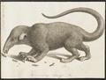 Myrmecophaga didactyla - 1700-1880 - Print - Iconographia Zoologica - Special Collections University of Amsterdam - UBA01 IZ21000051.tif