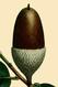 NAS-013 Quercus suber acorn.png