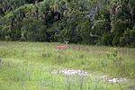NASA Kennedy Wildlife - A Florida whitetail deer.jpg