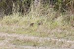 NASA Kennedy Wildlife - Bobcat.jpg