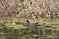 NASA Kennedy Wildlife - Common Moorhen.jpg