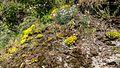NSG Kobersfelsen Silikatfelsen mit Felsspaltenvegetation Scharfe Mauerpfeffer (Sedum acre) Feder-Nelke (Dianthus plumarius) XXXVIII.jpg