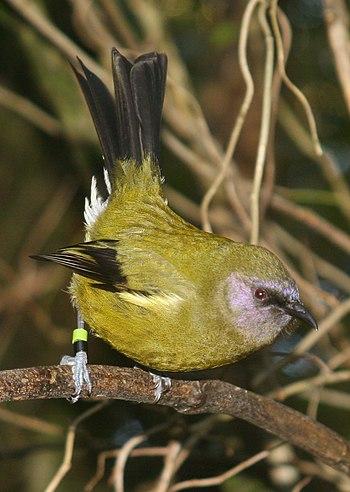 Male Bellbird, Zealandia wildlife sanctuary. W...